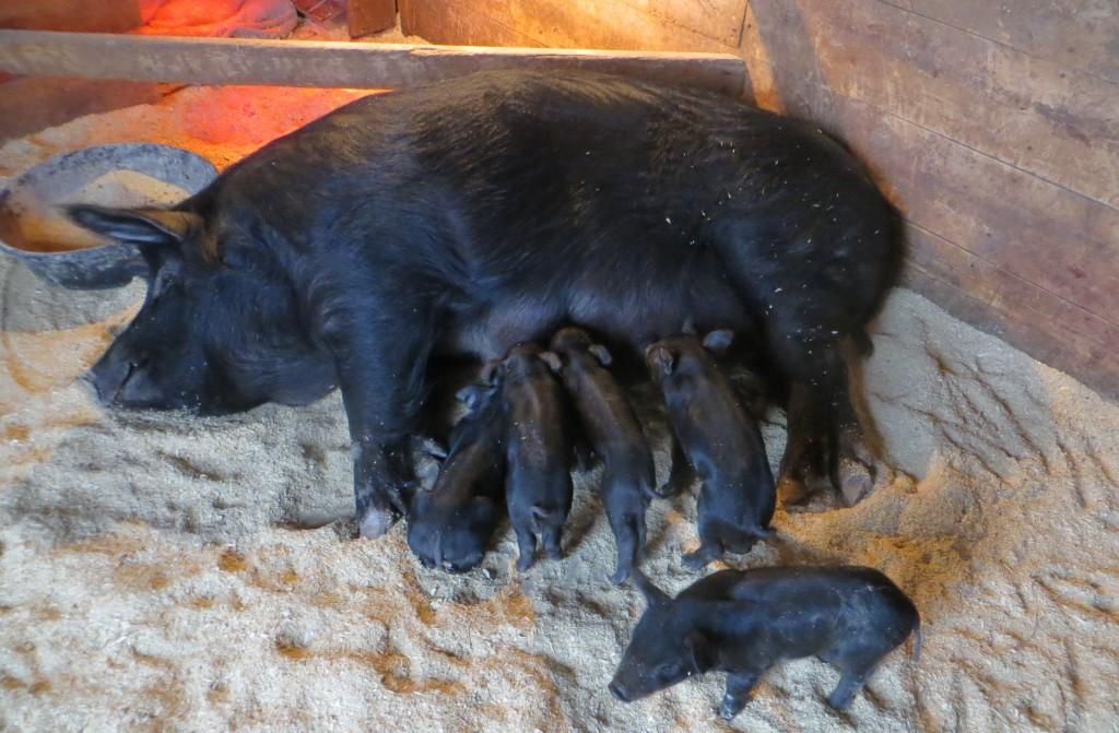 loretta and piglets